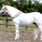 PRE Mares for Breeding & Riding