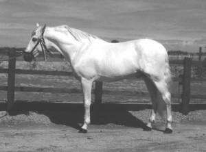 Salinero VI – Nat.CH Stallion