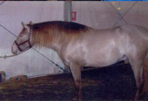 Especial IV, Stallion SICAB 2004, left side whole horse