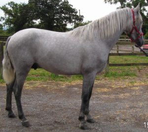 Light Grey with White mane and tail, Dark Legs