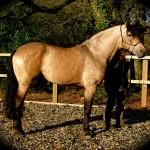 Buckskin PRE Stallion