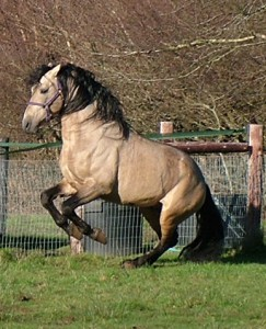 Oviedo de Torre - Buckskin stallion 2016 pic practising levade in the field