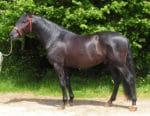 Black PRE Stallion