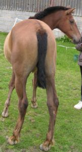 Chestnut with very Dark mane & tail - PRE Filly